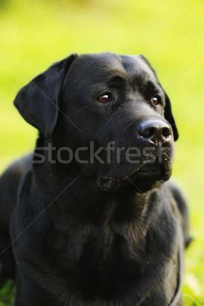 Hond zwarte labrador retriever portret zomer Stockfoto © goroshnikova