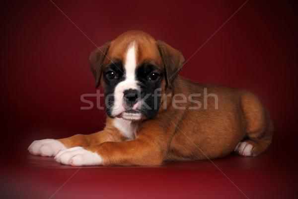 puppy of breed boxer with white paws and muzzle lies Stock photo © goroshnikova