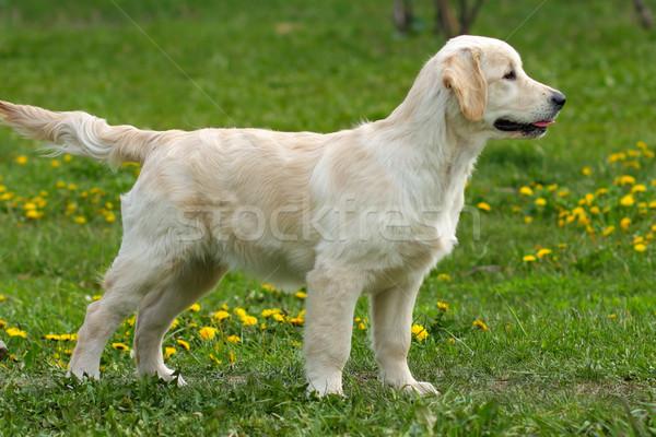 Puppy golden retriever portret grappig jonge glimlachend Stockfoto © goroshnikova