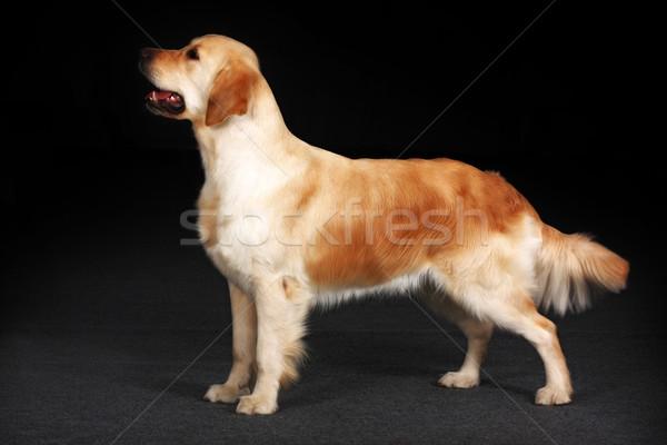 Golden retriever hond permanente show positie Stockfoto © goroshnikova