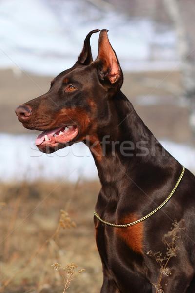 красивой коричневый доберман собака чемпион Сток-фото © goroshnikova