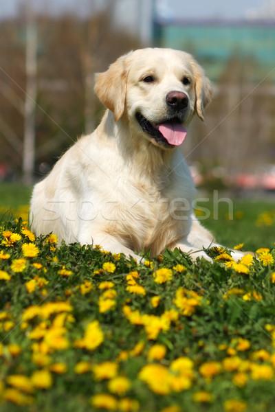 Gelukkig hondenras golden retriever zomer gras paardebloemen Stockfoto © goroshnikova
