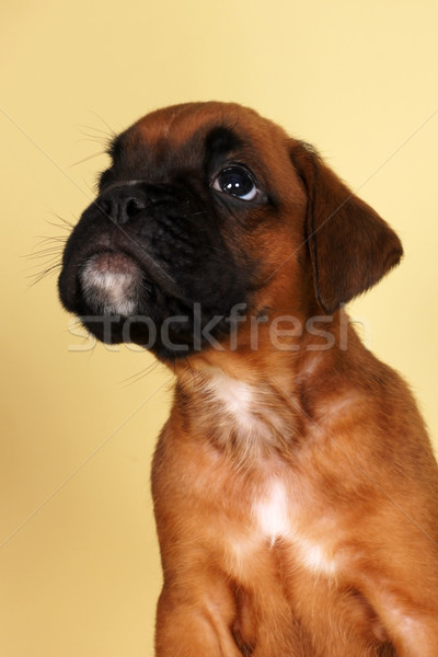red puppy boxer looks up and begging for food Stock photo © goroshnikova