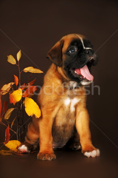funny puppy boxer but a brown background  Stock photo © goroshnikova