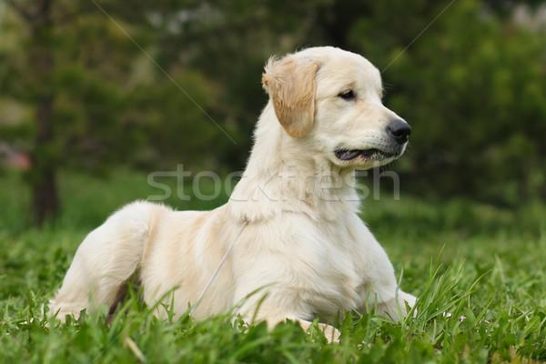 Golden retriever cucciolo bella ritratto divertente giovani Foto d'archivio © goroshnikova