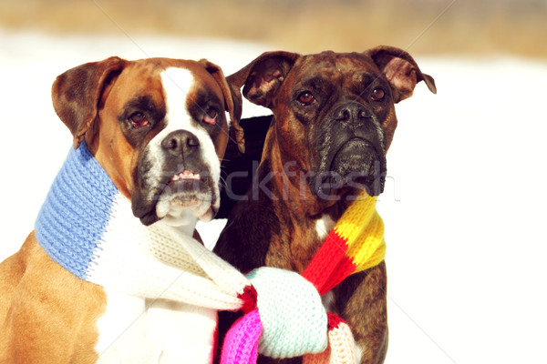 two dogs of breed boxer sitting in the winter on snow, associate Stock photo © goroshnikova