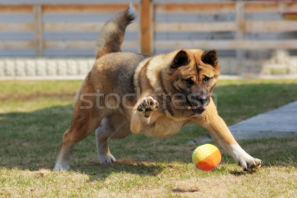 Stock photo: dog breed Akita inu plays outdoors with a ball