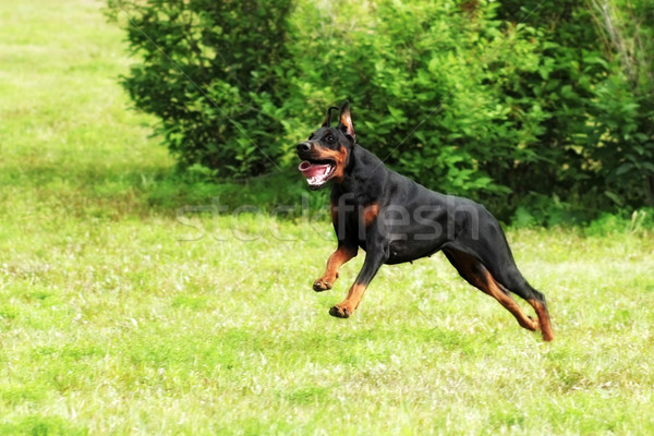 dog Doberman Pinscher running at a gallop Stock photo © goroshnikova