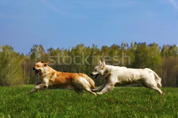 two dogs Golden Retriever fun run Stock photo © goroshnikova