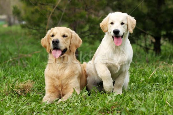 Kettő golden retriever arany kutyakölyök felnőtt kutya Stock fotó © goroshnikova