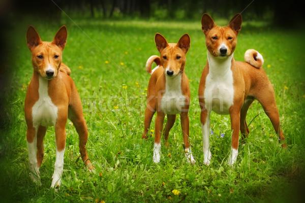 Gruppe drei Hund Rasse Sommer Natur Stock foto © goroshnikova