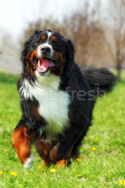 happy Beautiful Bernese mountain dog runs are fun  Stock photo © goroshnikova