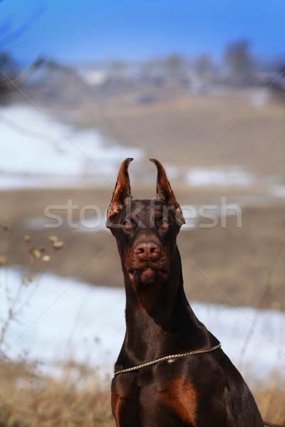 Mooie bruin doberman hond kampioen Stockfoto © goroshnikova