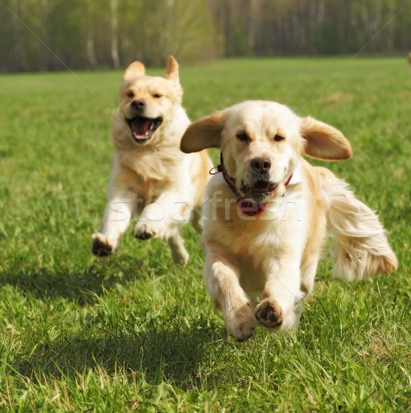 Dois cães golden retriever diversão correr verão Foto stock © goroshnikova