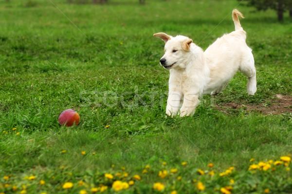 Funny puppy Golden Retriever plays in the summer in the meadow w Stock photo © goroshnikova