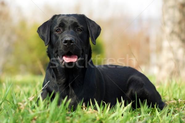 Feliz cão labrador retriever belo grama verão Foto stock © goroshnikova