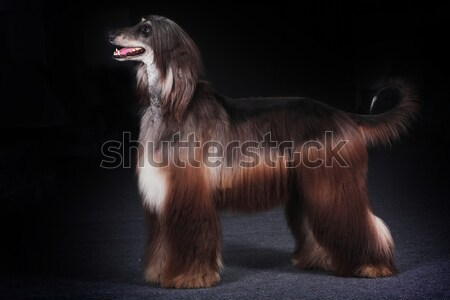 beautiful dog Afghan hound Stock photo © goroshnikova