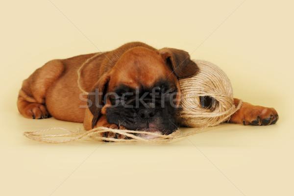 ボクサー 子犬 寝 黄色 ボール ストックフォト © goroshnikova