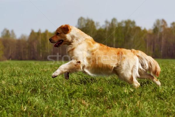 Heureux chien golden retriever herbe verte courir courir Photo stock © goroshnikova