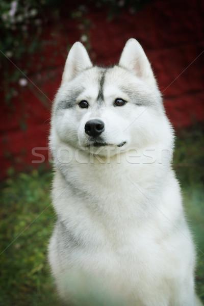 beautiful husky dog Stock photo © goroshnikova
