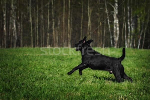 Diversão preto labrador cão saltando verde Foto stock © goroshnikova