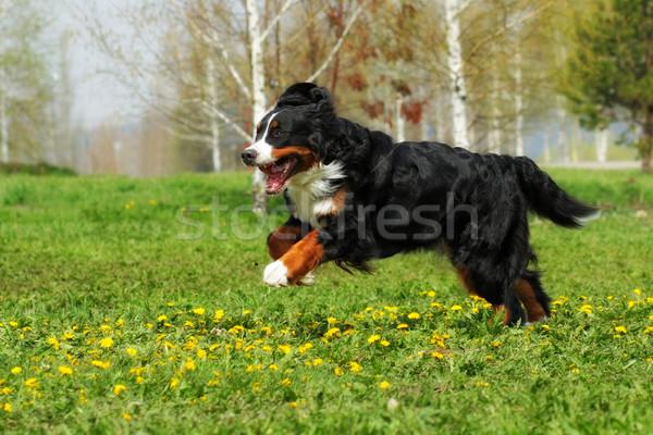 Szczęśliwy piękna berneński pies pasterski zabawy lata odkryty Zdjęcia stock © goroshnikova