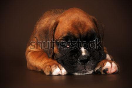 Szomorú kutyakölyök boxoló fej mancsok külső Stock fotó © goroshnikova