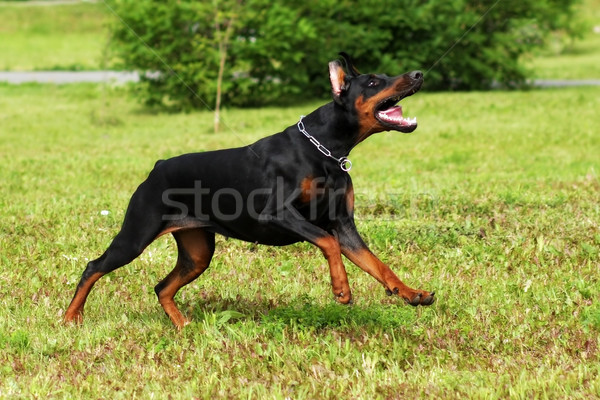 dog Doberman Pinscher running Stock photo © goroshnikova