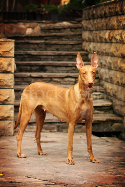 Pharaoh hound stands amid the stone staircase Stock photo © goroshnikova
