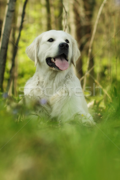 Felice cane golden retriever estate sorridere Foto d'archivio © goroshnikova