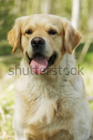 happy dog Golden Retriever Stock photo © goroshnikova