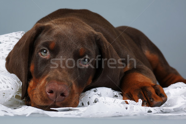 Beautiful purebred brown Doberman puppy very sad, put his head a Stock photo © goroshnikova