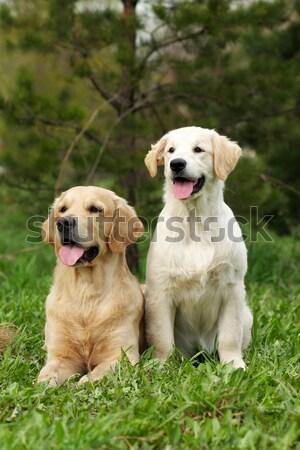 группа три собаки ретривер два Сток-фото © goroshnikova