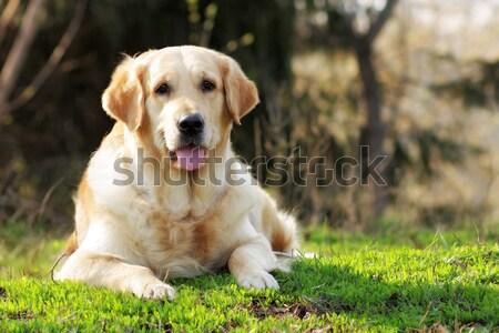 Felice cane golden retriever primo piano ritratto Foto d'archivio © goroshnikova