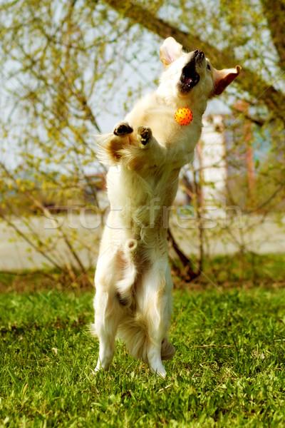 Engraçado golden retriever cão jogar bola voar Foto stock © goroshnikova