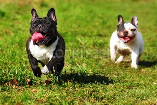 happy dog breed the French bulldog Stock photo © goroshnikova