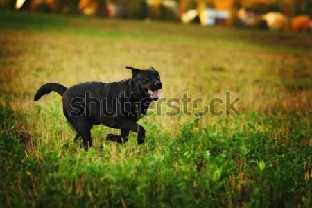 Labrador retriever jókedv fut fekete kutyafajta körül Stock fotó © goroshnikova
