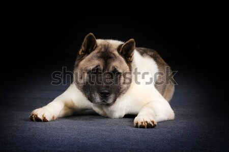 Dog breed Akita inu lies Stock photo © goroshnikova