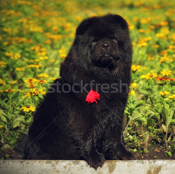 beautiful fluffy black dog breed Chow Chow sits in the summer on Stock photo © goroshnikova