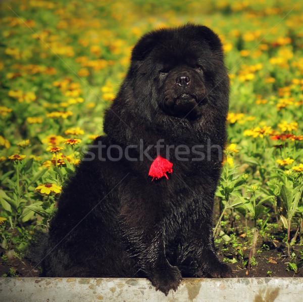 Hermosa mullido negro verano flor Foto stock © goroshnikova