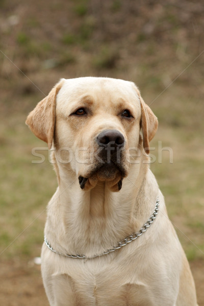 Stock photo: Labrador Retriever seriously looking