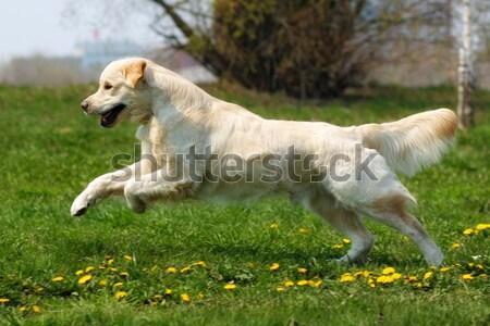 Heureux chien golden retriever jeunes joie Photo stock © goroshnikova