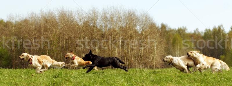 Honden lopen zomer groene vallei Stockfoto © goroshnikova