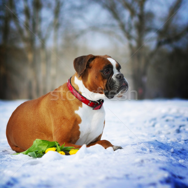 intelligent dog breeds red boxer lies in winter on snow with flo Stock photo © goroshnikova