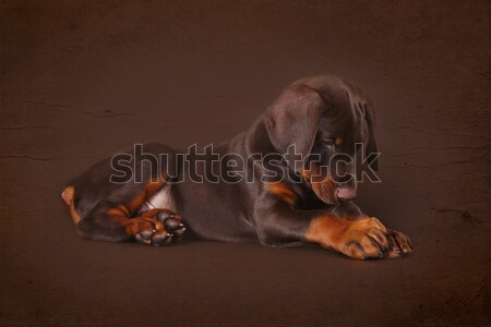 Cute brown Doberman puppy with big paws and ears lying in the St Stock photo © goroshnikova