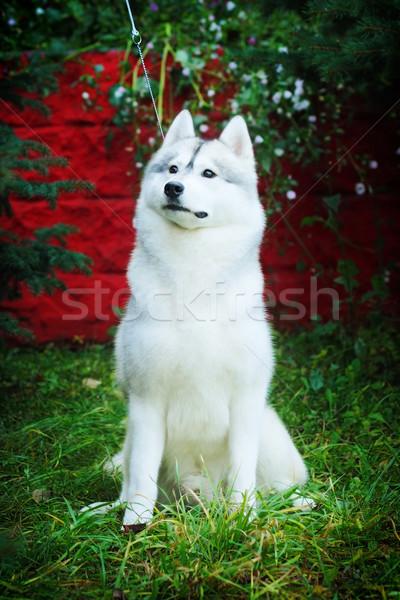 beautiful dog husky sits Stock photo © goroshnikova