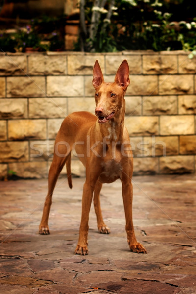 dog breed the Pharaoh hound stands in the yard Stock photo © goroshnikova