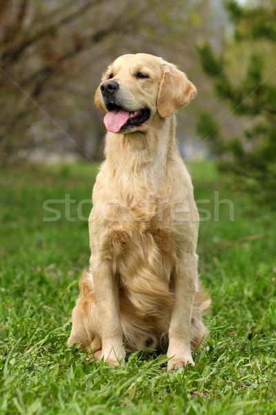 Felice cane golden retriever seduta erba capelli Foto d'archivio © goroshnikova
