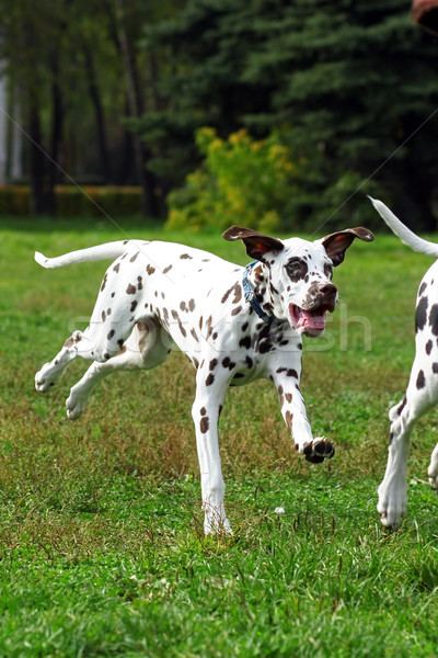 Grown Dalmatian puppy running around and playing in summer Park Stock photo © goroshnikova