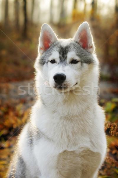 美しい ハスキー 犬 屋外 秋 クローズアップ ストックフォト © goroshnikova
